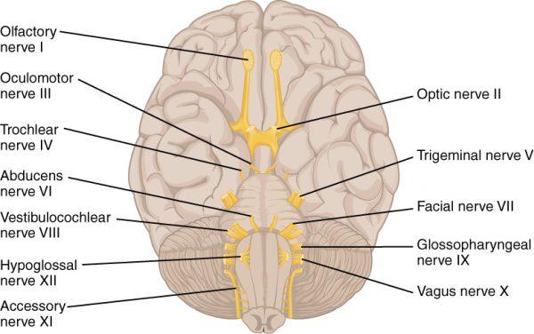 PinpointEyes - Cranial Nerves